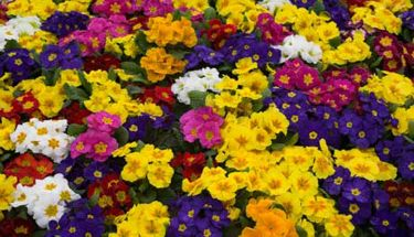 Primulas mixed colours